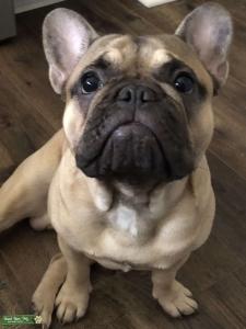 French Bulldog (AKC) Listing Image