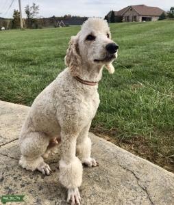 AKC/CKC (OFA) Standard Poodle for stud. DNA health tested Listing Image