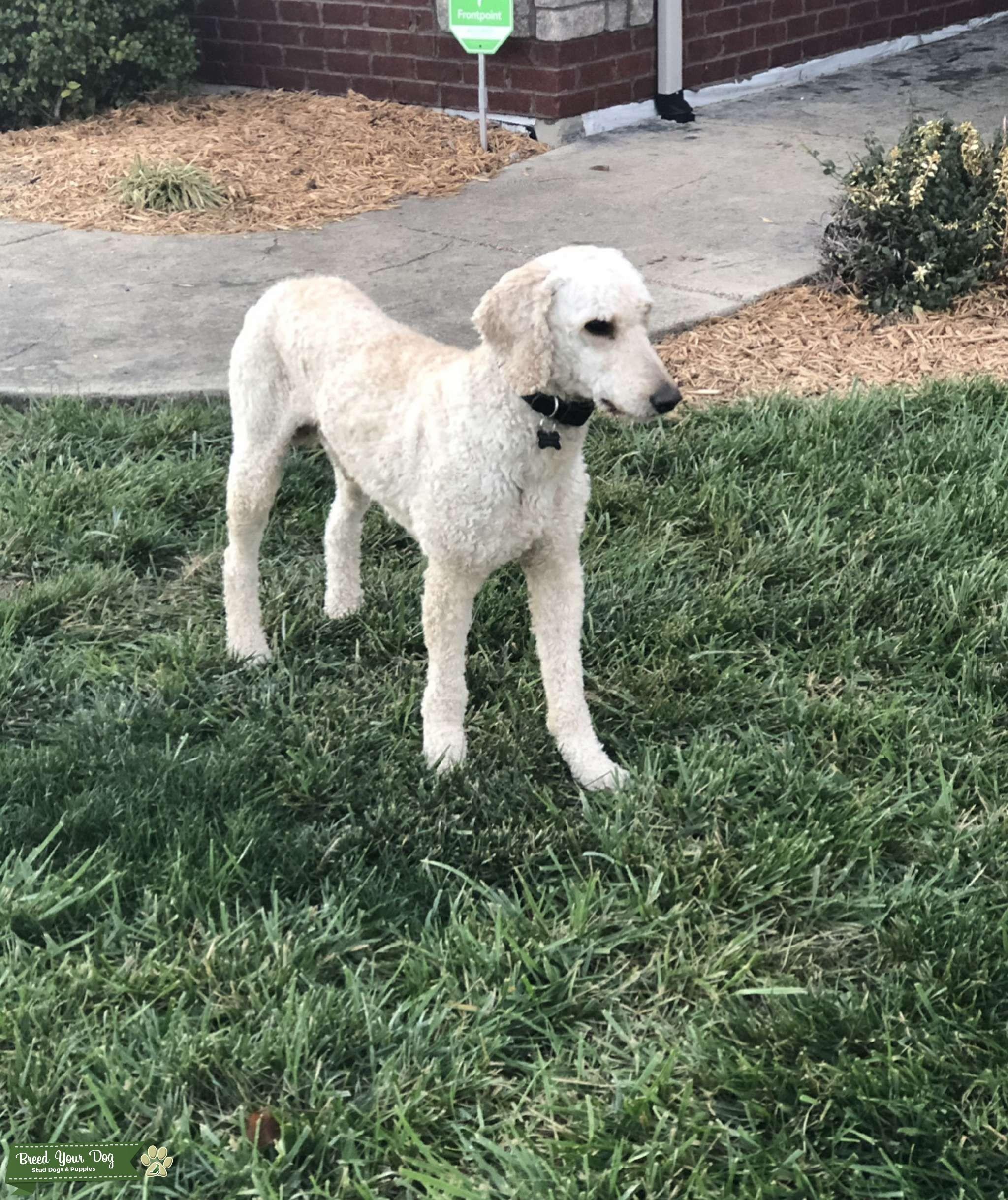 AKC/CKC (OFA) Standard Poodle for stud. DNA health tested Listing Image Big