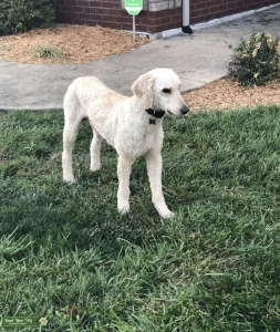 AKC/CKC (OFA) Standard Poodle for stud. DNA health tested Listing Image Thumbnail