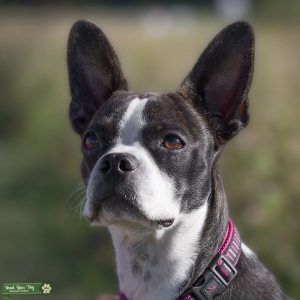 Boston Terrier Stud Dogs Available Now Breed Your Dog