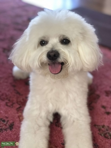 PomaPoo looking to breed Listing Image Thumbnail