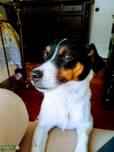 tri-color Jack Russell terrier Listing Image