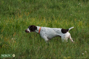 White and black german shorthair stud Listing Image