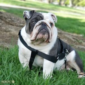 English bulldog (micro mini) Listing Image