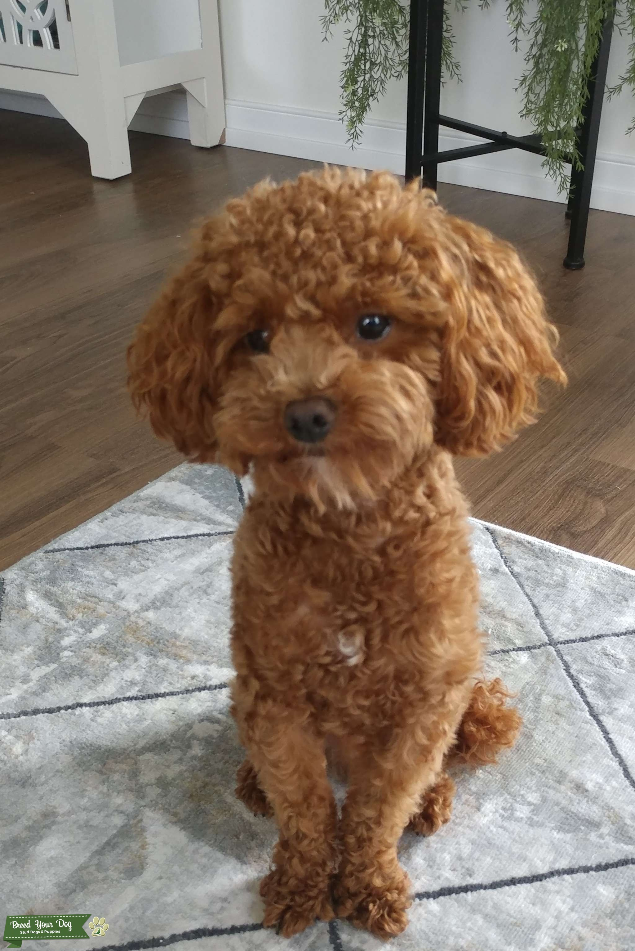 Looking to mate my toy poodle Listing Image Big
