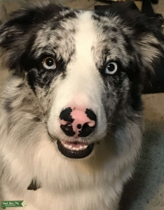 Ready to Stud! AKC and ABCA registered, Blue Merle Listing Image