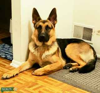 King german shepherd (stud) Listing Image