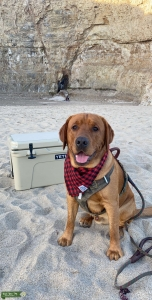 Fox Red Lab AKC certified  Listing Image Thumbnail