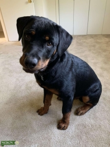 Male Rottweiler for Stud Listing Image