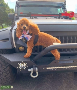 ACA registered Miniature Red Poodle Ready to Populate the World  Listing Image Thumbnail