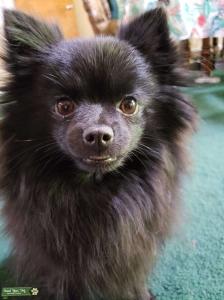 Black Pomeranian Listing Image
