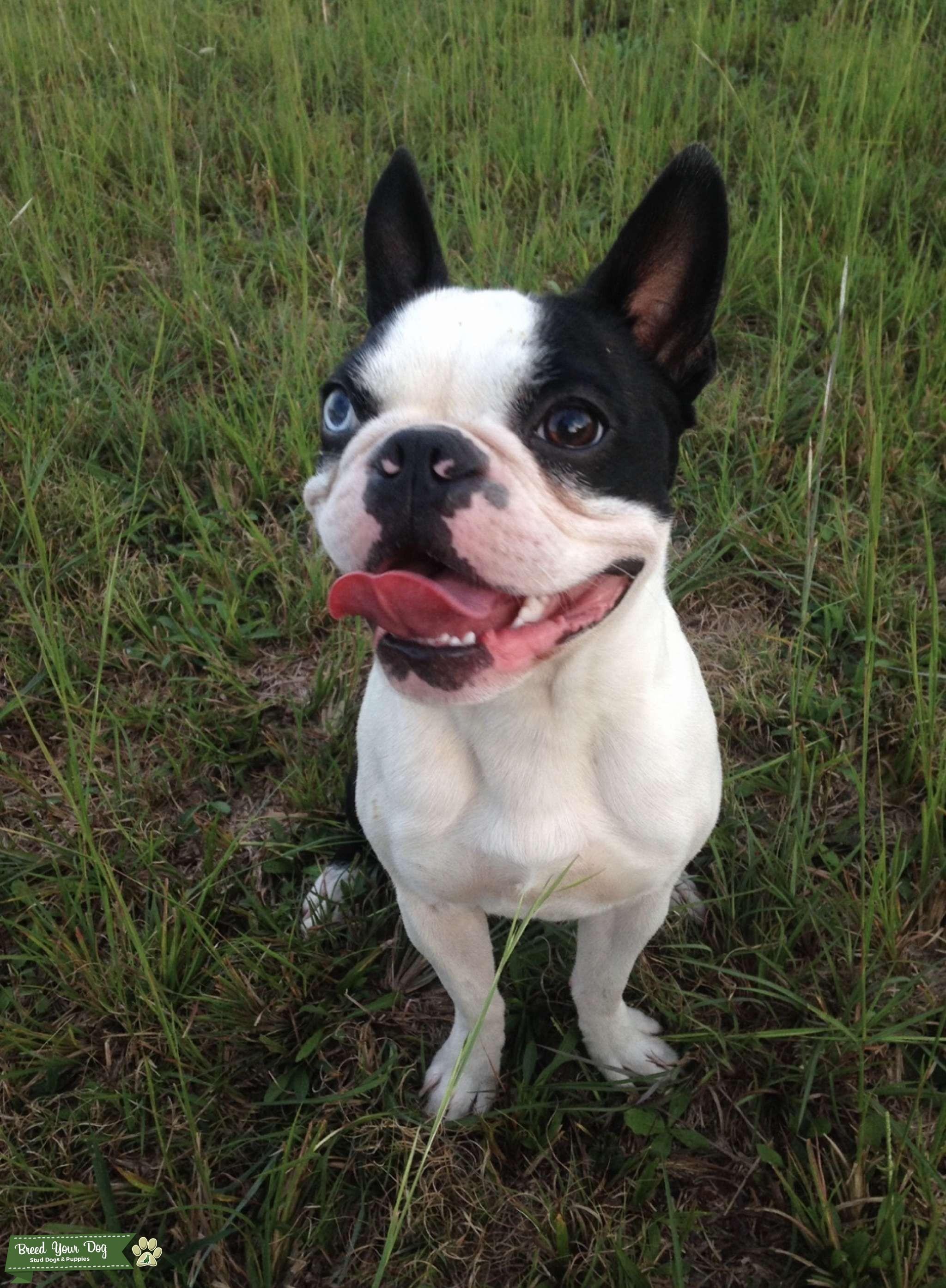 AKC registered Boston terrier stud Listing Image Big