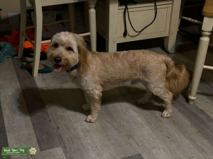 F1 Goldendoodle 30 lbs Listing Image
