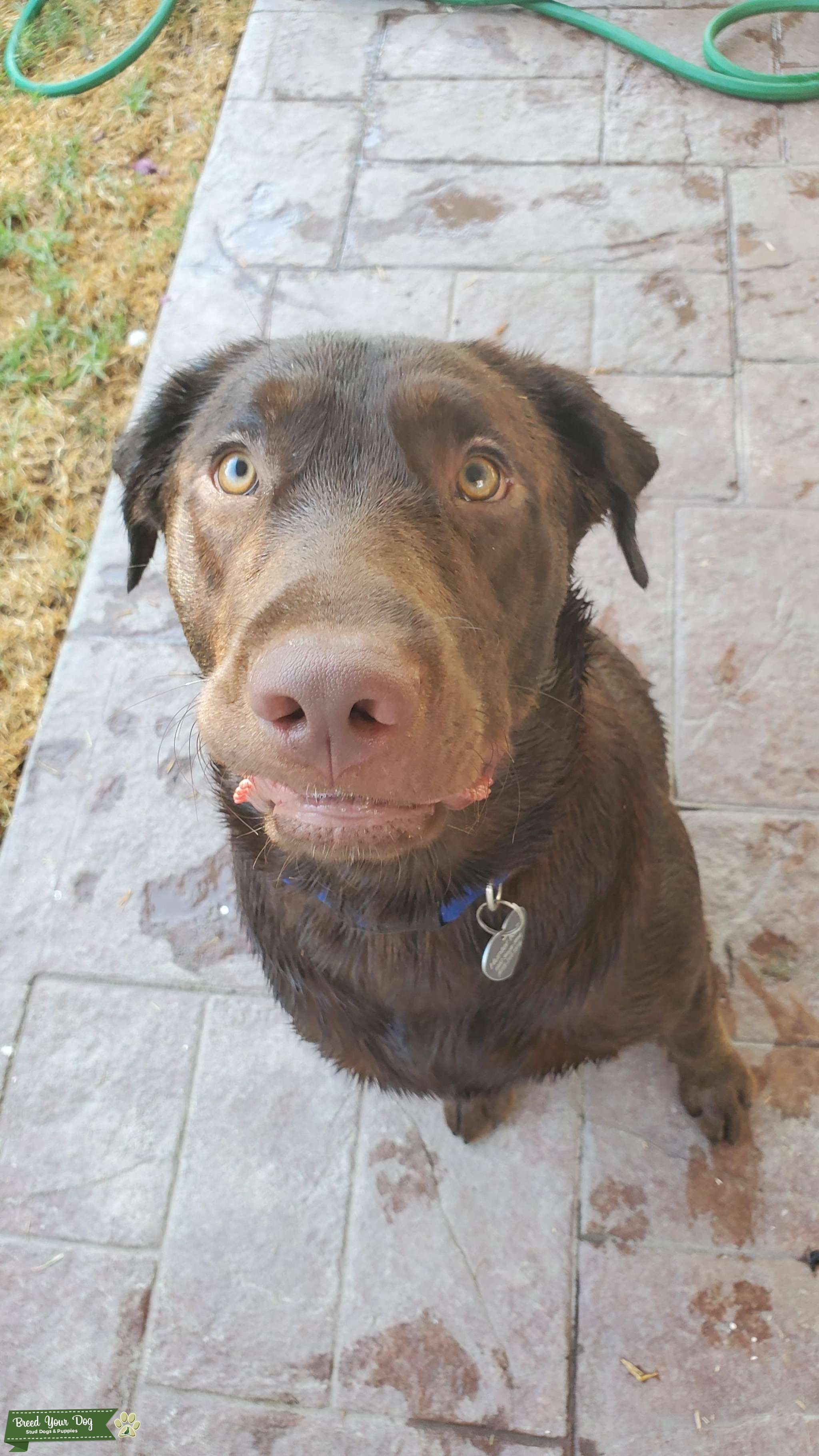Looking to breed my chocolate lab Listing Image Big