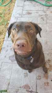 Looking to breed my chocolate lab Listing Image