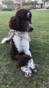 Party Standard Poodle Stud Listing Image