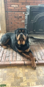 Rottweiler Stud looking for Bitch Listing Image