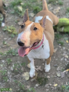Bull Terrier Female Listing Image