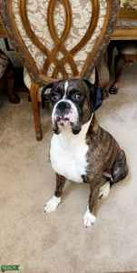 Male Stud Boxer looking for Female Listing Image