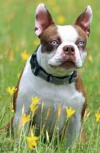 Red/white Boston Terrier Listing Image