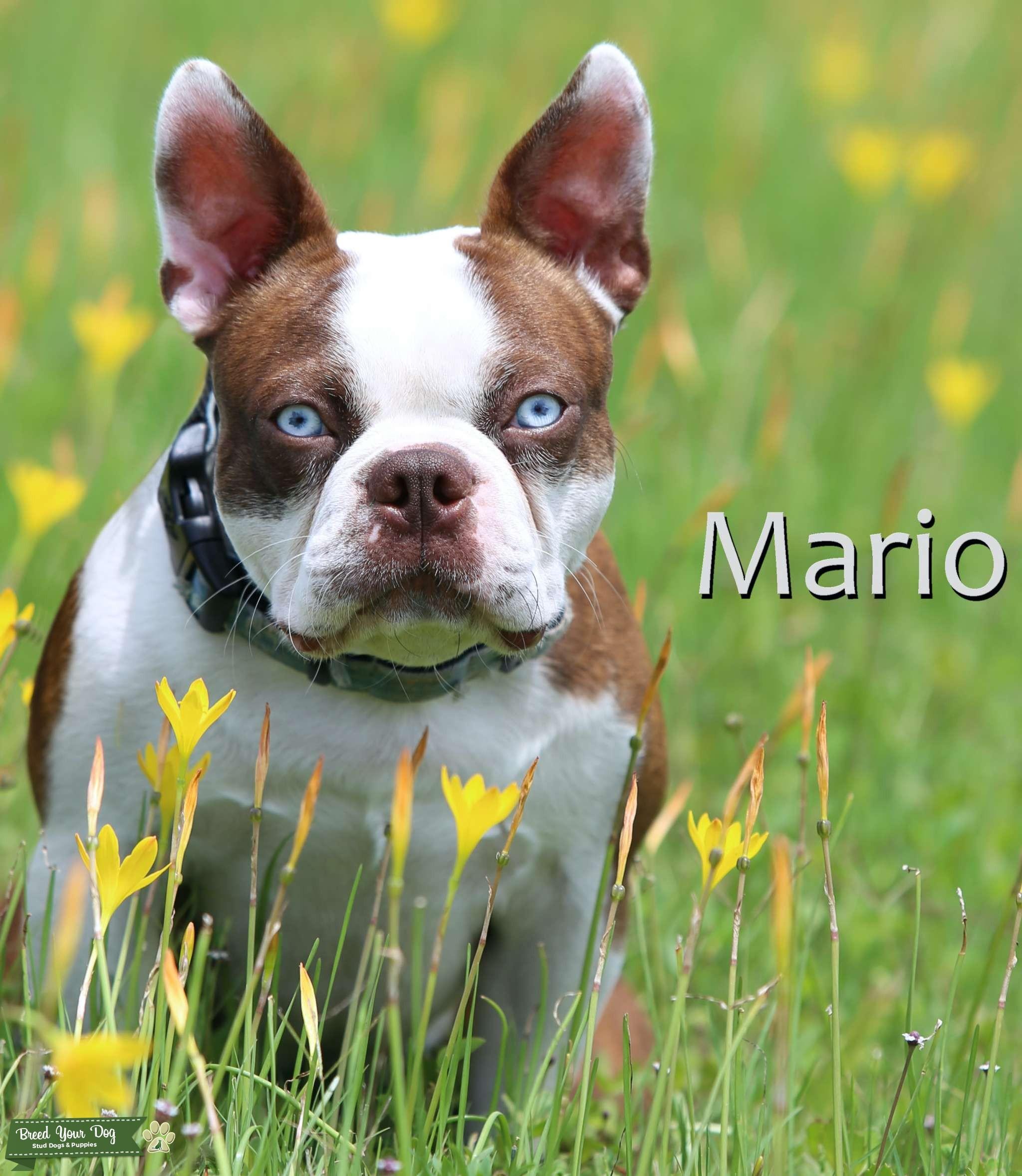 Red/white Boston Terrier Listing Image Big