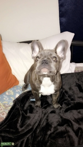Young Frenchie (to be) Stud! Listing Image