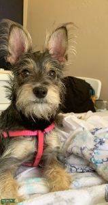 Schnauzer looking for a stud  Listing Image