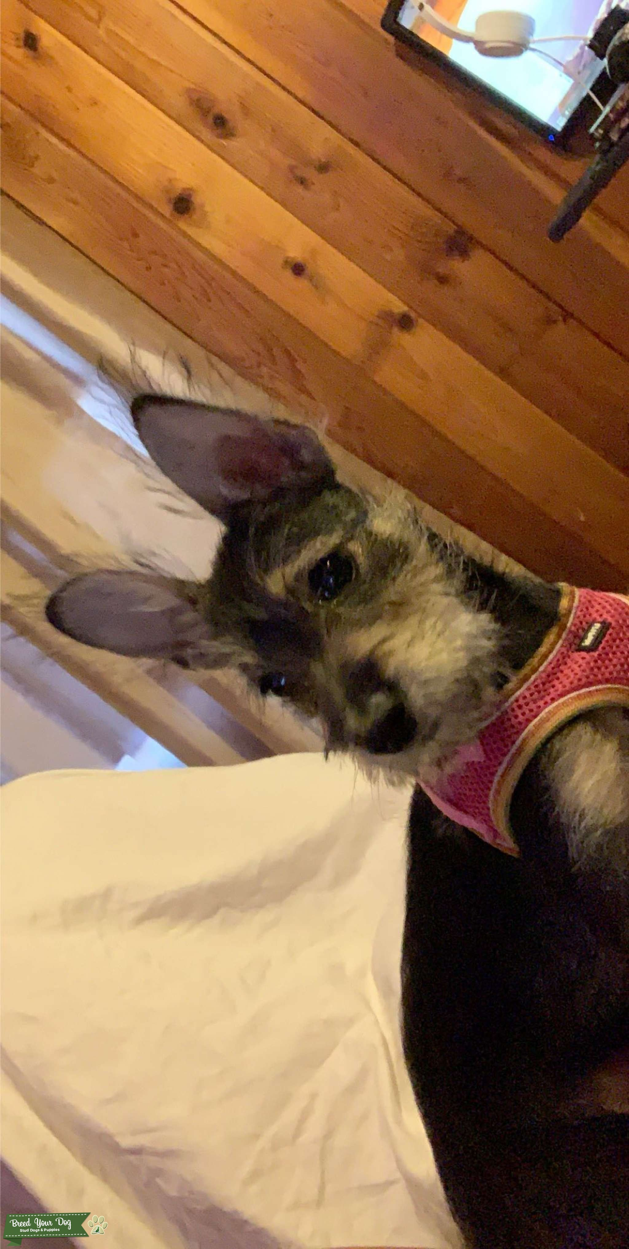 Schnauzer looking for a stud  Listing Image Big