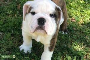 English bulldog brindle Listing Image