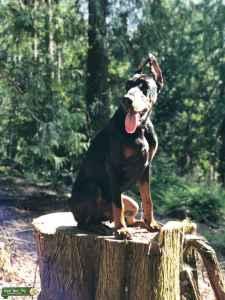 Doberman dog up for stud  Listing Image