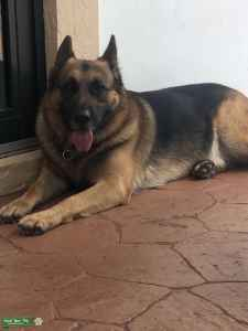 Looking for female German Shepard to breed with Male German  Listing Image