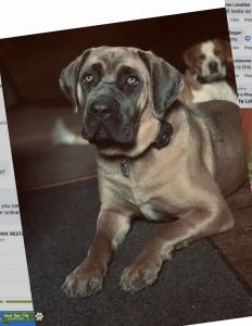 ISO: stud dog  Listing Image