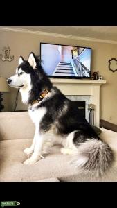 Alaskan Husky Listing Image