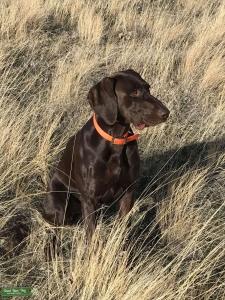 GSP Stud Dog NAVHDA Registered Listing Image