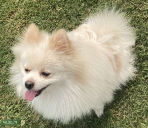 Male full breed Pomeranian white and gold  Listing Image