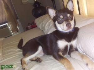 Chihuahua Stud Listing Image