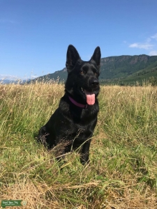 3 year old East German Shepherd Dog (All Black) Listing Image Thumbnail