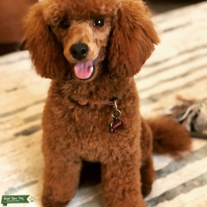 Red Miniature AKC Poodle Stud Dog  Listing Image