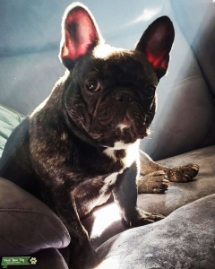 Brindle Male 2-year-old French Bulldog Listing Image
