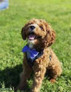 Apricot colored Cavapoo  Listing Image