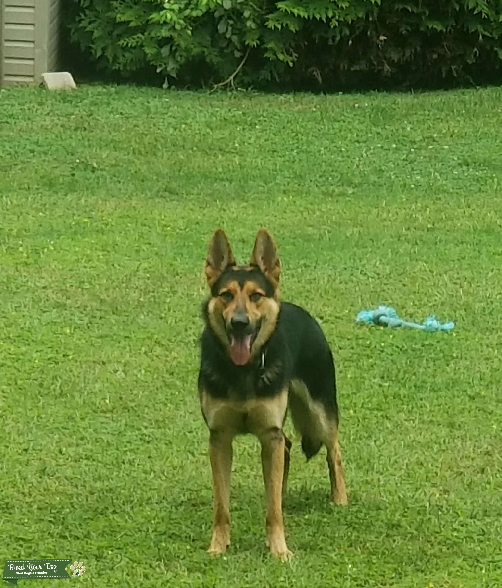 Strong Male GSD that's ready to Mate Listing Image Big