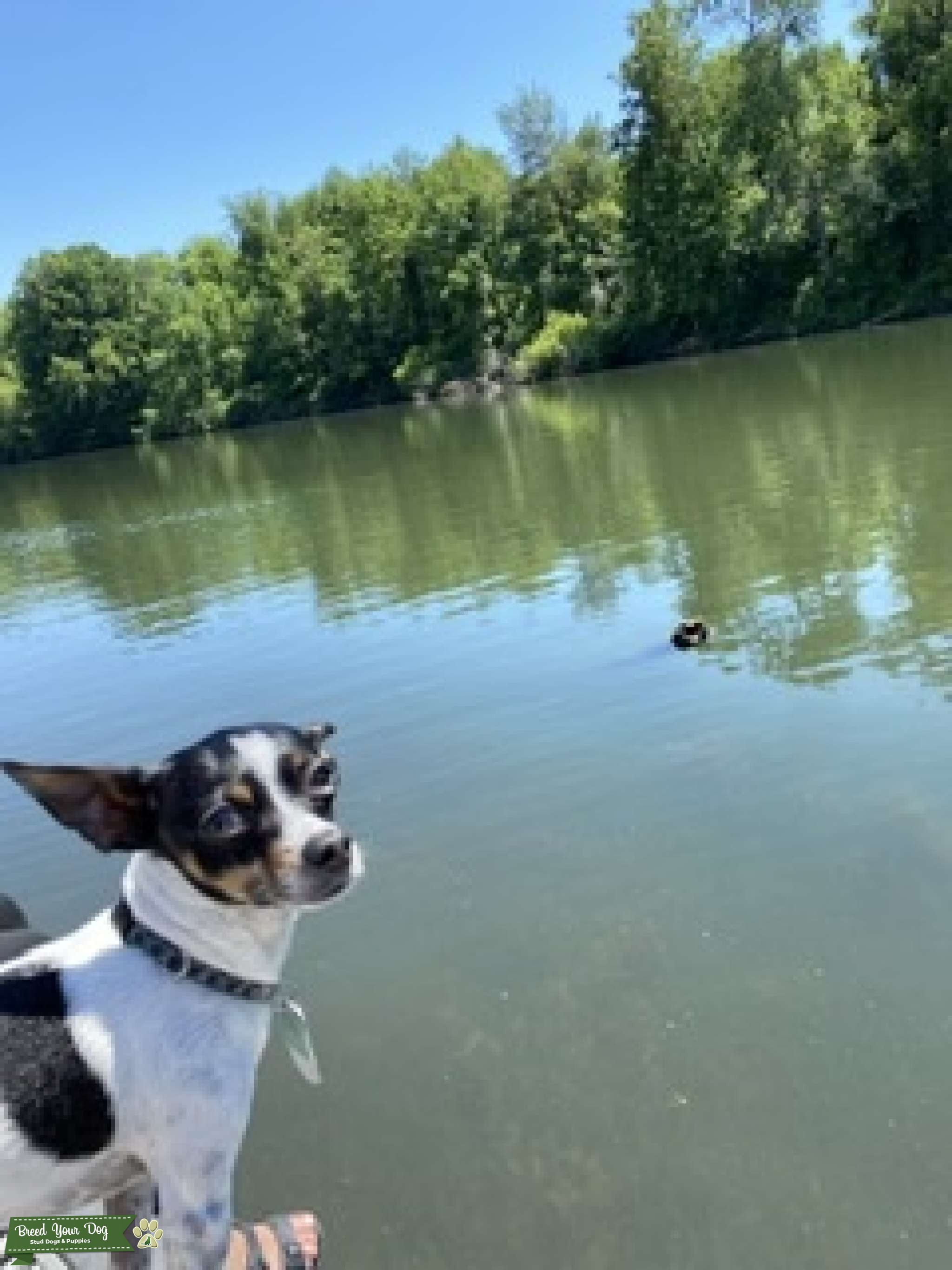 Looking for female Chihuahua Listing Image Big