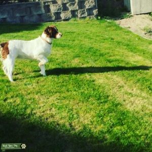 Feamale Brittany Spaniel Listing Image