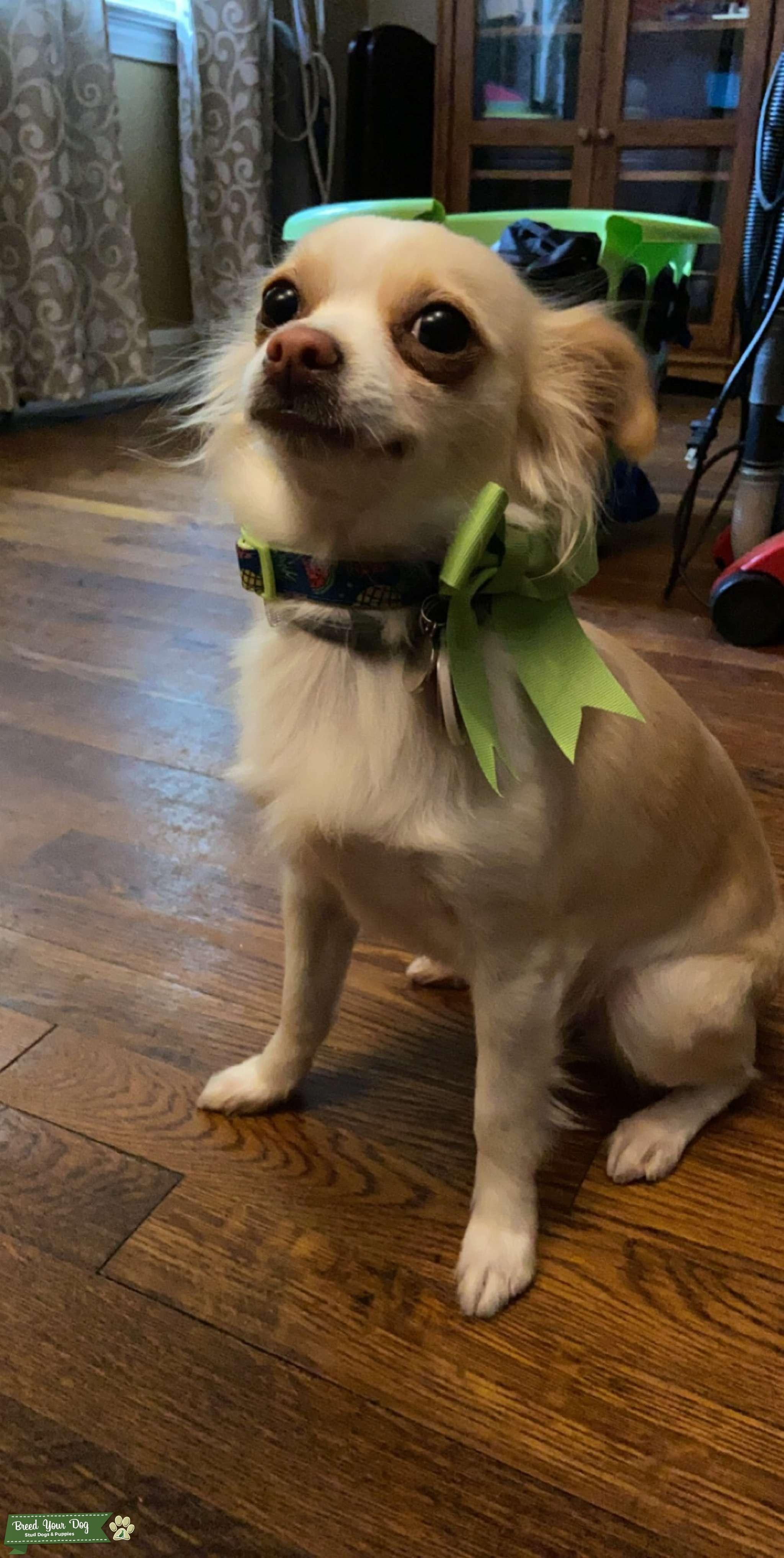 Long hair cream Chihuahua  Listing Image Big