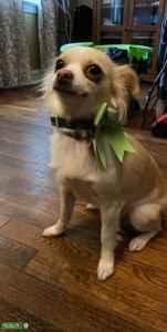 Long hair cream Chihuahua  Listing Image
