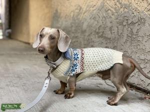 Isabella short haired dachshund  Listing Image