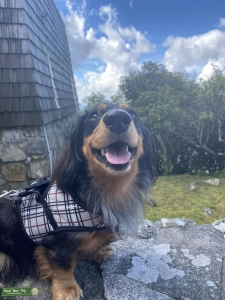Blue Merle longhair miniature dachshund Listing Image