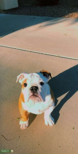 English Bulldog Pure Bread Listing Image Thumbnail
