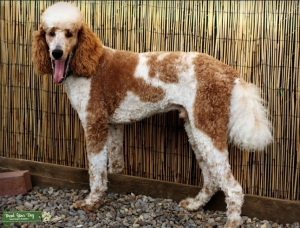 Red Parti Standard Poodle  Listing Image